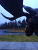 Parting shot - Even Moose are Alert to Renewables